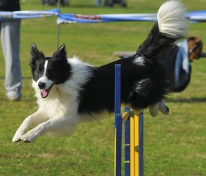 agility-dog.jpg