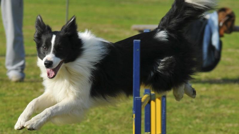 Agility Dog: regole e percorso